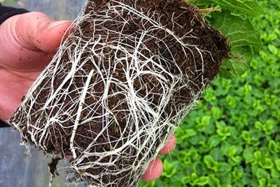 Primula root